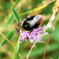 Red-tailed bumblebeemale on Knapweed-Bryn Euryn