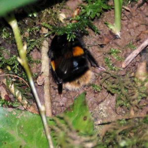 Buff-tailed bumblebee queen seeking a hole to nest in
