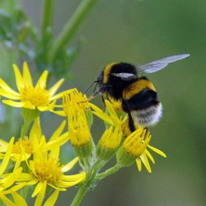 130725-White-tailed Bumblebee on ragwort-Colwyn Bay Embankment