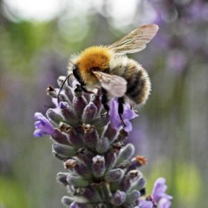 130818-Common Carder bee on lavender-Bristol garden