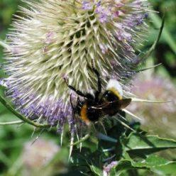 140804-55-Buff-tailed bumblebee male onTeasel flower-Bryn Euryn