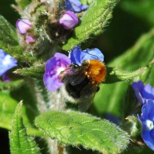 Tree-bumblebee-(with mites) on green alkanet