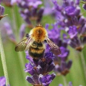 15/6/25-Early bumblebee
