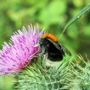 12/7/15-Tree Bumblebee on thistle