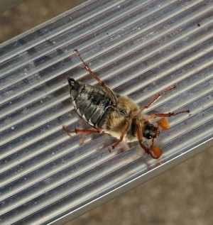 Maybug, underside view. Like a lot of larger beetles they have trouble righting themselves ince on their backs