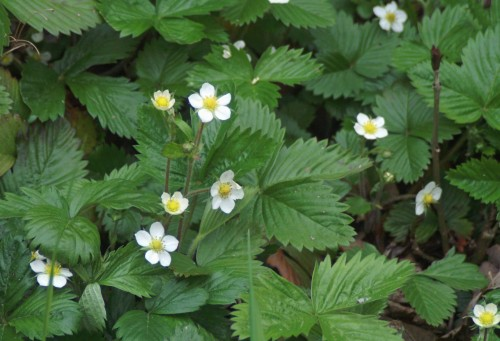 Wild Strawberry Vine Wild strawberry plants growing