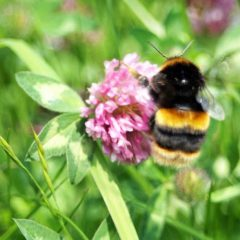 3) Buff-tailed-bumblebee-queen