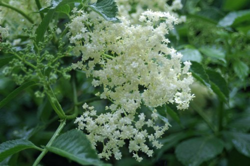 Frothy elderflowers