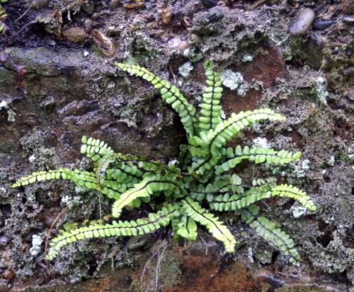 9612tgww-wall-fern-nevern-pembs-e1340029232280.jpg