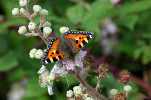 A beautiful Tortoiseshell butterfly on bramble flowers