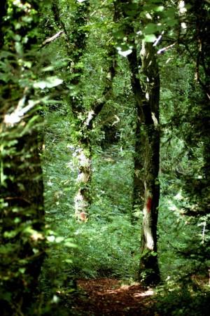 A woodland trail-Bryn Pydew