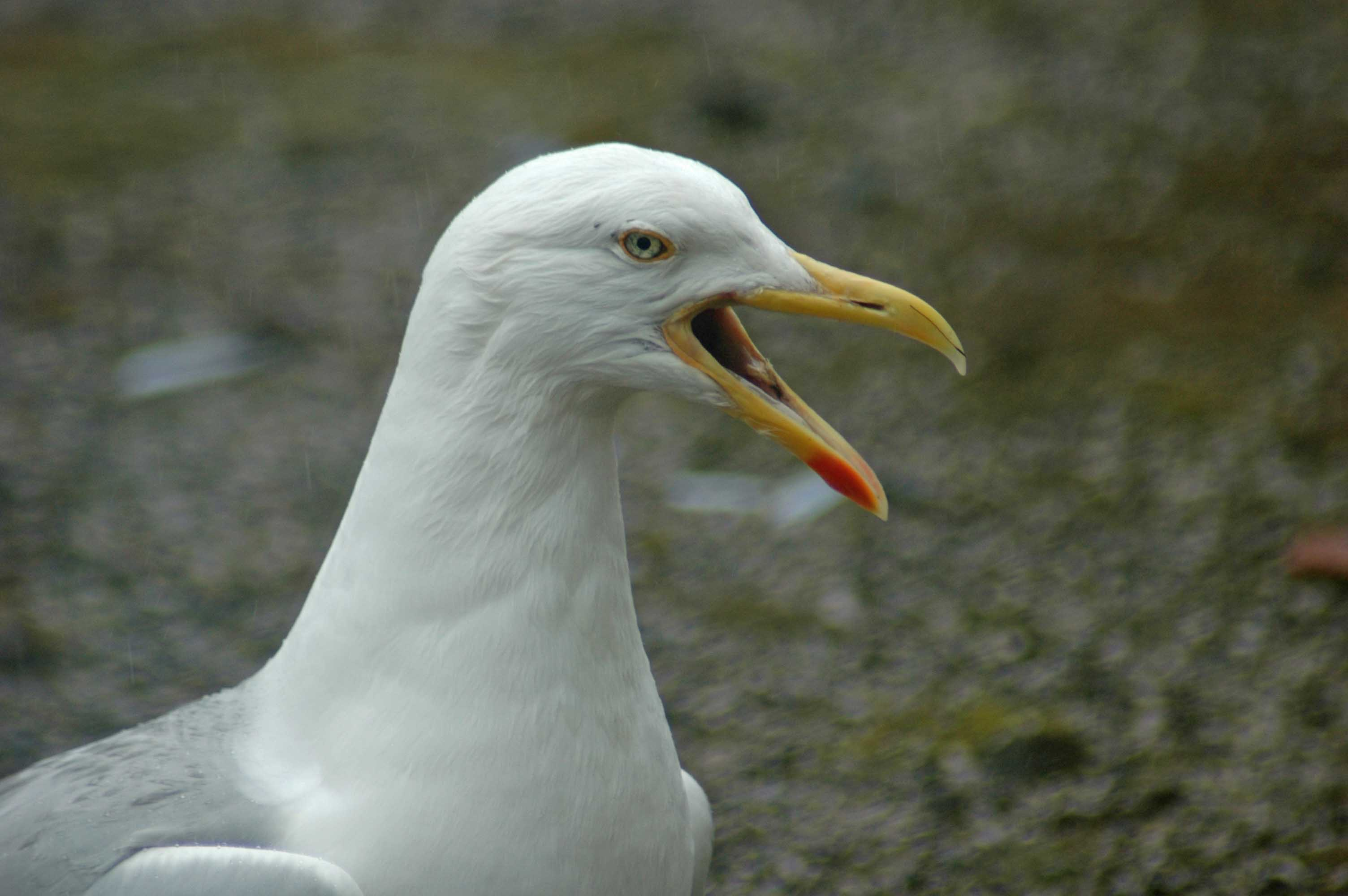 Herring Gulls In Towns Everyday Nature Trails
