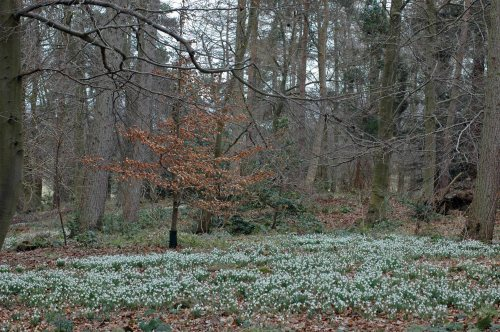 A carpet of Snowdrops beneath the trees