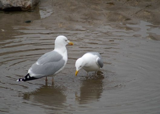 Herring gull pair bonding