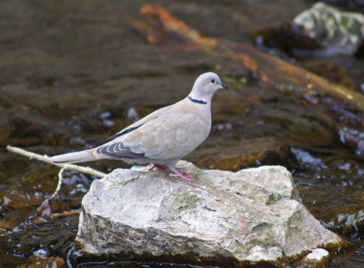 A collared dove on a rock in the river