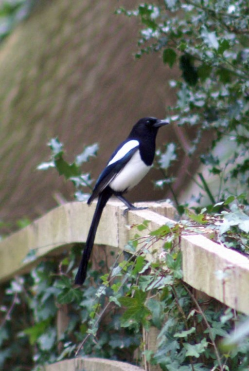 One of a pair of magpie on the handrail of the walkway