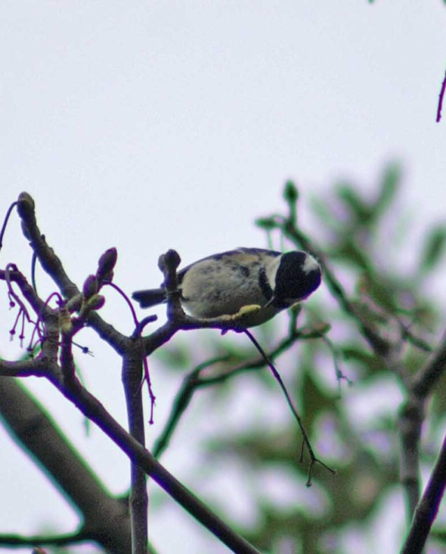 A coal tit feeding at the top of a tree