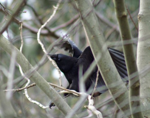 The precariously balance crow trying its best to break off a twig