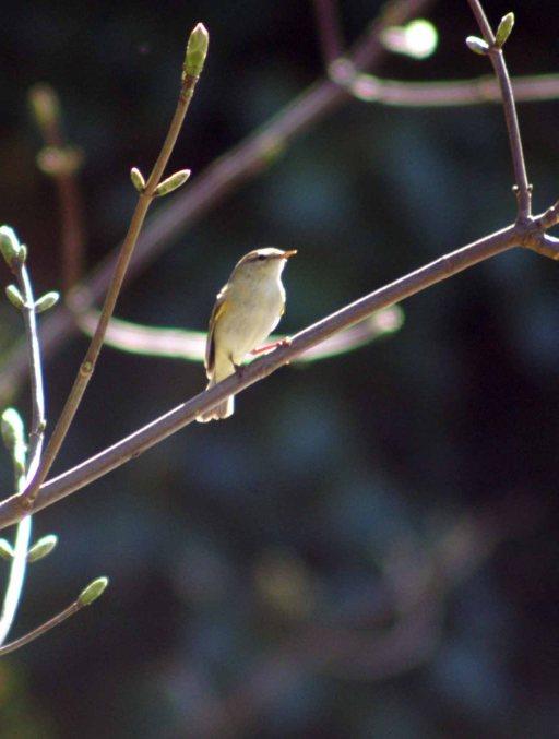 A sunlit Willow Warbler