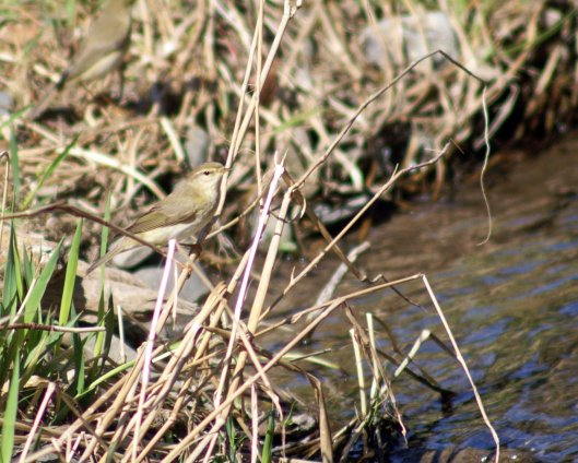 Willow warbler perched on stems overhanging the river