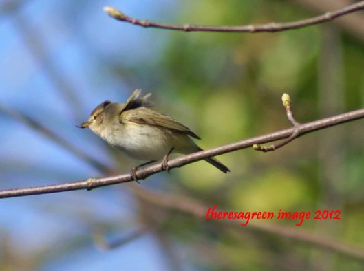 The chiffchaff with his prize - a good-sized fly