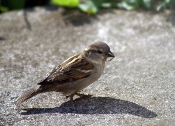 Female House Sparrow with feather