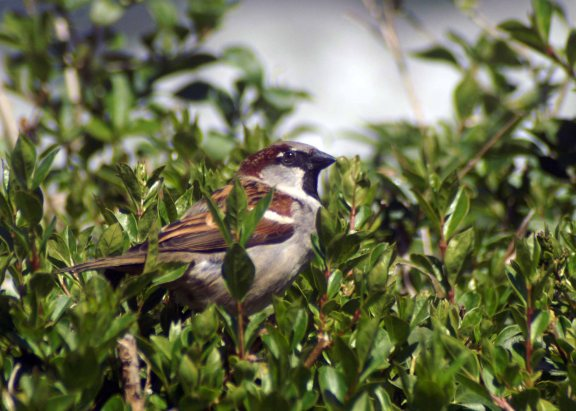 A male House Sparrow atop the pyracantha hedge