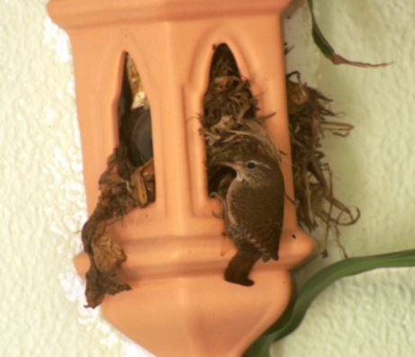 An adult wren at the entrance to the nest in the light fitting