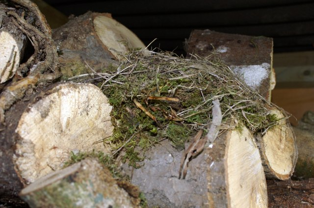 A mossy Robin's nest built in the wood pile, Nevern, Pembrokeshire