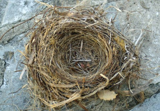 A blackbird's nest blown from a tree branch