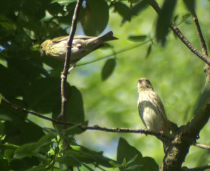 These young Serin in a cork oak tree may well be from 'my nest' family