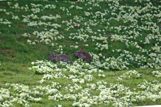 bunnies amongst the primroses