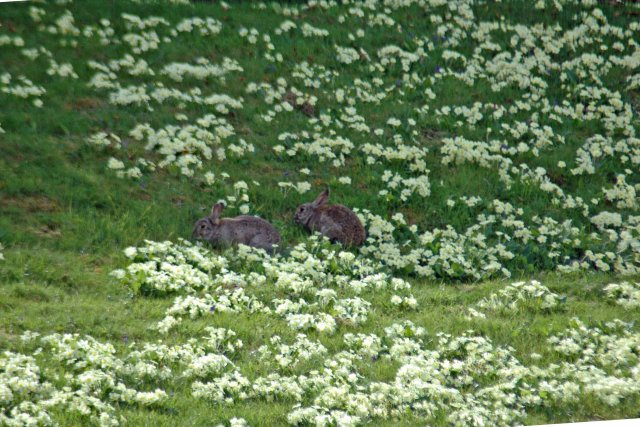 bunnies amongst the primroses