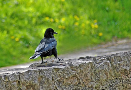 A crow strutting along the river-wall, feathers gleaming with shades of purple and green