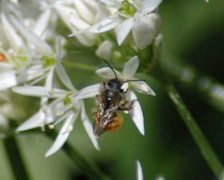 One of a number of tiny mason bees feasting on the nectar of the wild garlic flowers