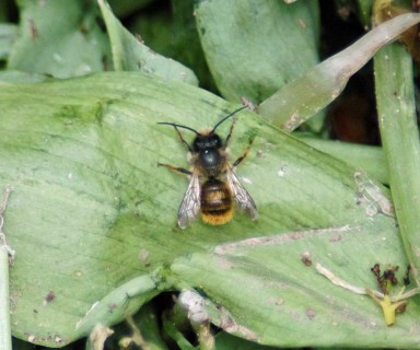 One of the little bees (male), pausing briefly to soak up some warmth