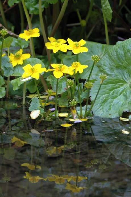Kingcups, or marsh maraigolds reflected in a pool of water
