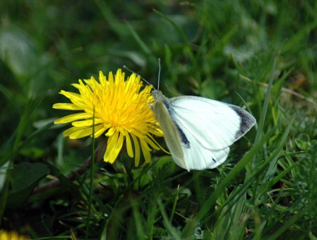 large white taking nectar from a dandelion