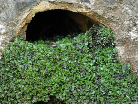 Liverwort at the mouth of a drain pipe