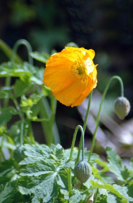 An almost-orange Welsh Poppy