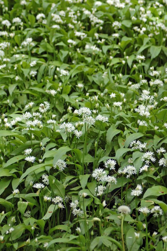 130510TGNJ4-wild garlic-fairy glen