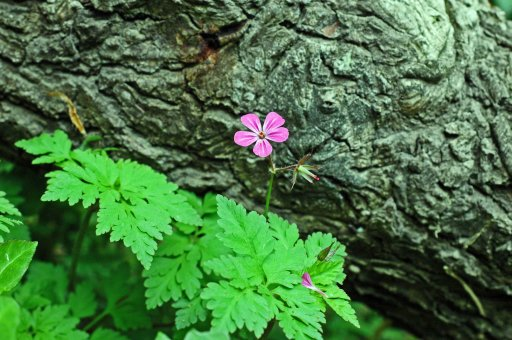 130517tgflw4-herb robert against tree bark
