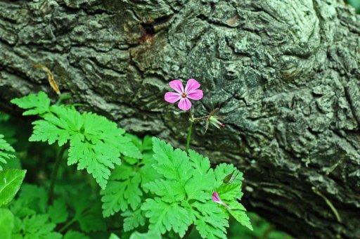 130517tgflw4-herb robert against tree bark