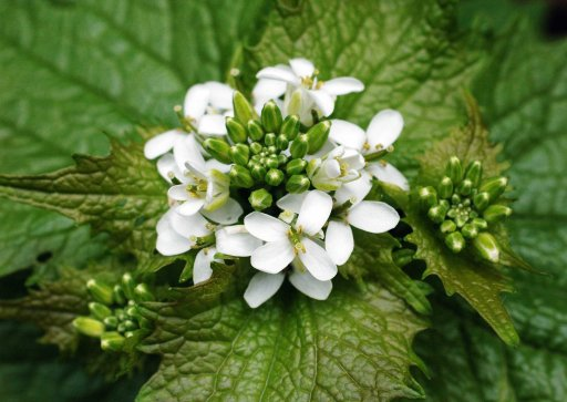 130517tgflwr4-garlic mustard flowers & buds
