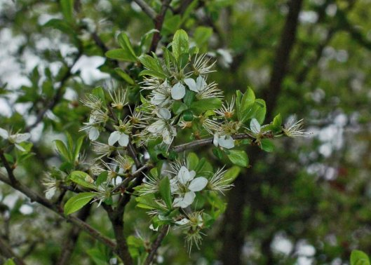 blackthorn blossom is almost over now