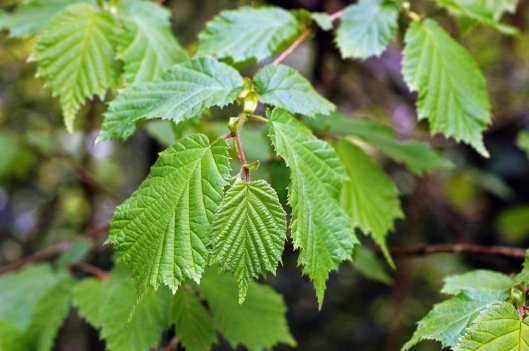 soft new beech leaves shaking out the wrinkles