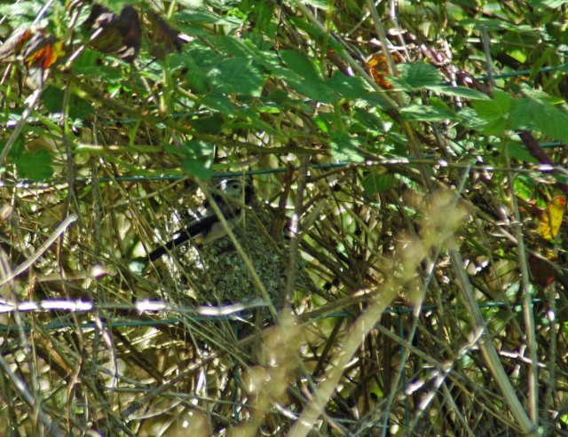 The Long-tailed Tit at the nest