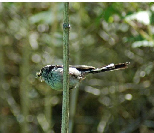 A Long-tailed Tit with her beak full of small flies