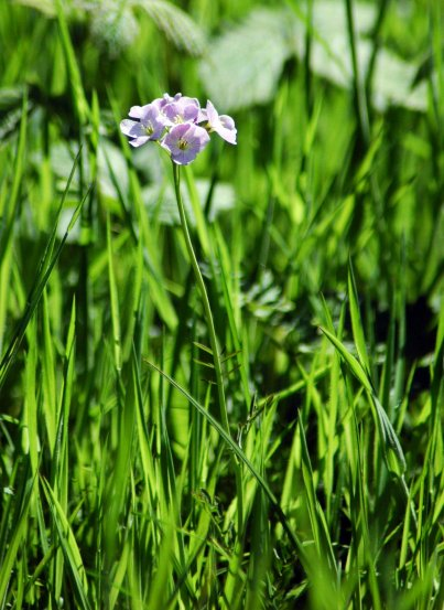 Lady's Smock, Cuckoo Flower-Cardamine pratensis