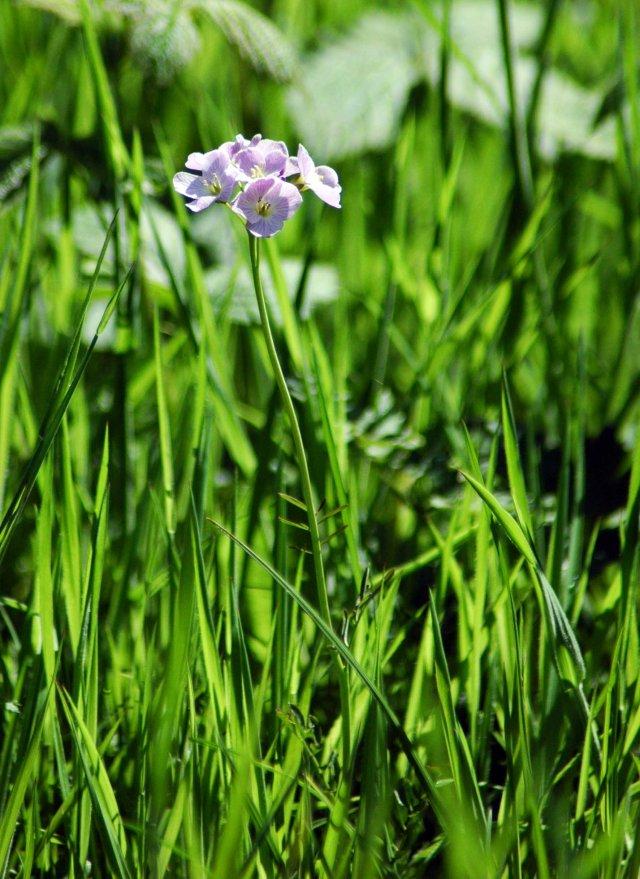 Lady's Smock, Cuckoo Flower-Cardamine pratensis